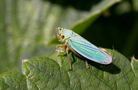 Cicadella_viridis_web
