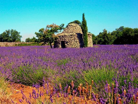 lavender_3-6595
